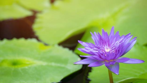 Linda flor de lótus roxa no lago e plantas de flor de lótus