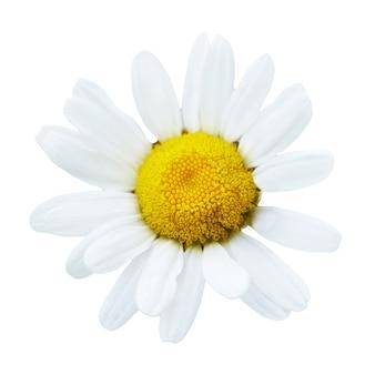 Linda flor de margarida isolada no fundo branco