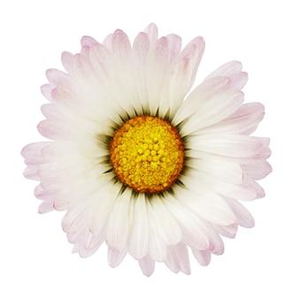 Linda flor de margarida única isolada no fundo branco
