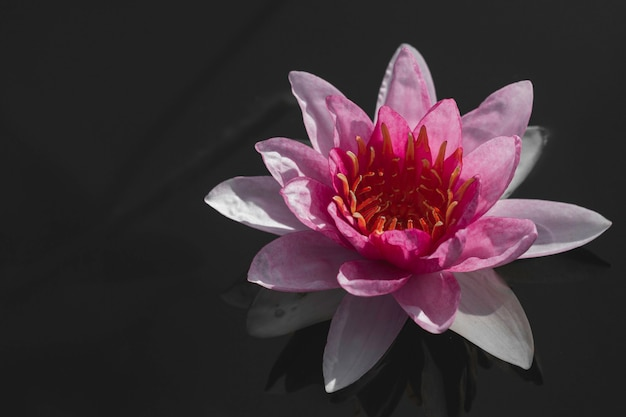 Linda flor de nenúfar ou lótus rosa na lagoa.