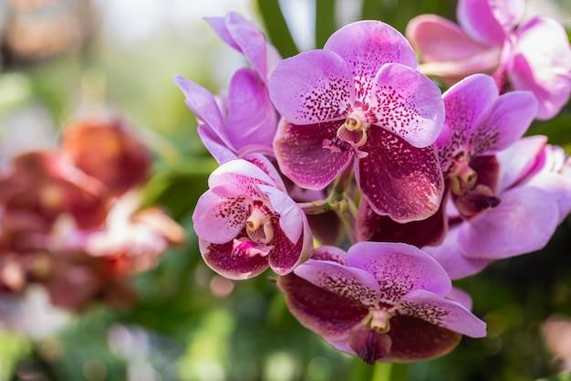 Linda flor de orquídea floresce na estação das chuvas. vanda orchidaceae