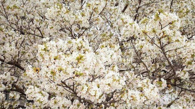 Linda flor de pessegueiro branco