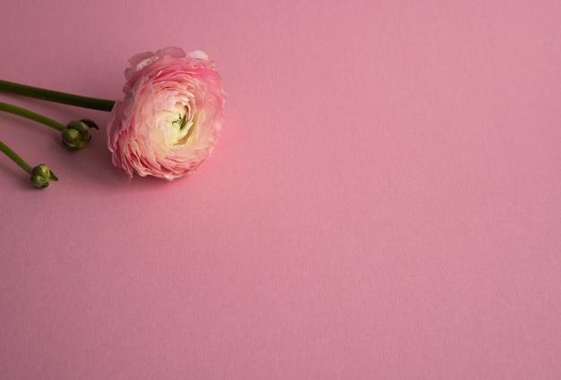 Linda flor de ranúnculo cor de rosa desabrochando de salmão único com copyspace