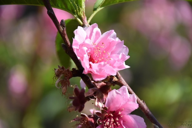 Linda flor de sakura ou flor de cerejeira na primavera, flor da árvore de sakura em desfoque.