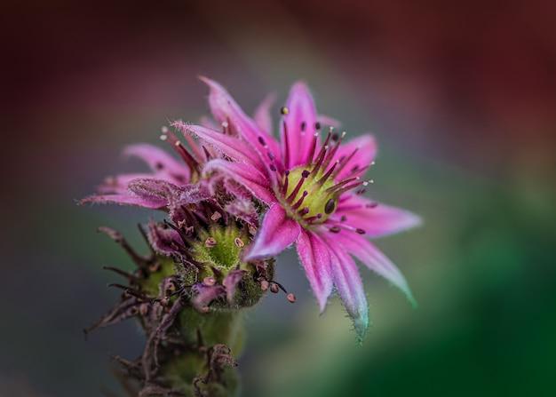 Linda flor de sedum com fundo desfocado
