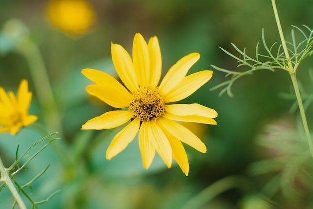 Linda flor ensolarada amarela em um jardim de verão