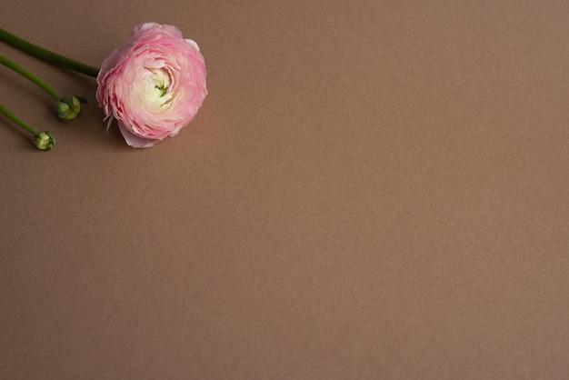 Linda flor fresca de ranúnculo com cor de salmão único em flor no marrom com vista lateral do copyspace