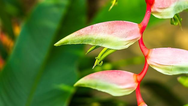 Linda flor lilás heliconia tropical isolada em um fundo verde
