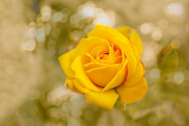 Linda flor rosa amarela desabrochando sobre luz natural