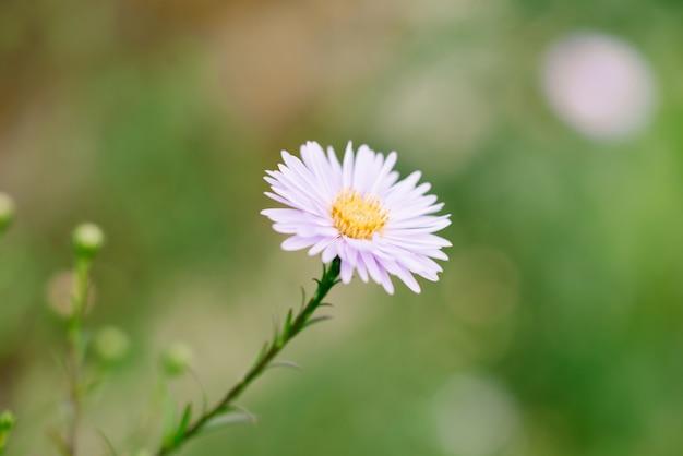 Linda flor rosa da margarida no jardim de verão