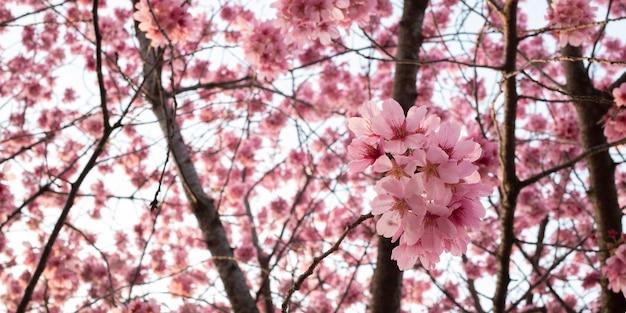 Linda flor rosa de pessegueiro