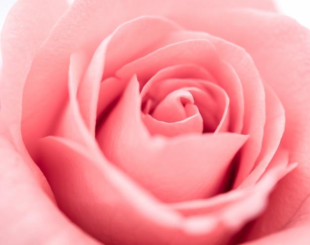 Linda flor rosa rosa