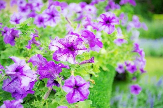 Linda flor roxa no jardim