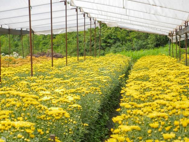 Linda floração flores de crisântemo amarelo com folhas verdes no jardim