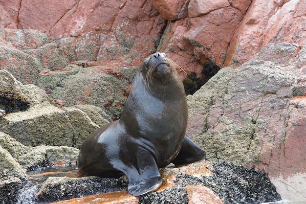 Linda foca peluda descansando na rocha