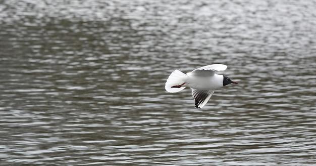 Linda gaivota de cabeça preta no mar
