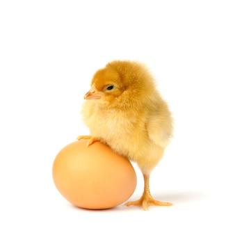 Linda galinha com ovo isolado no branco