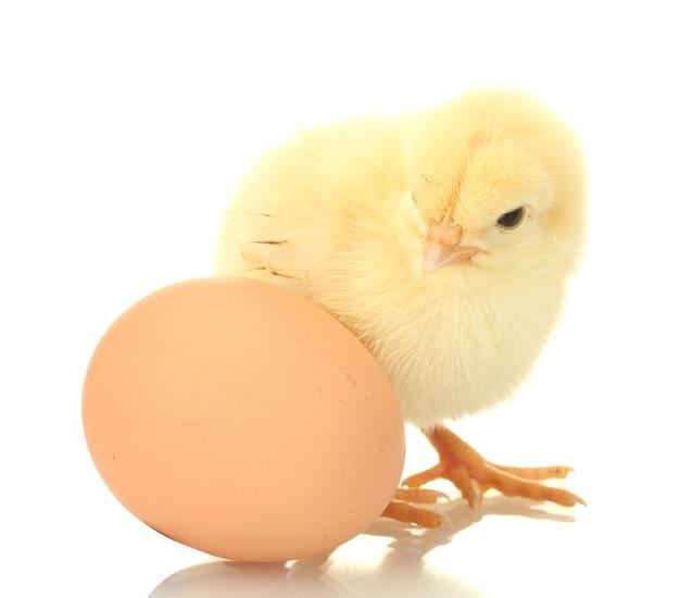 Linda galinha com ovo no branco