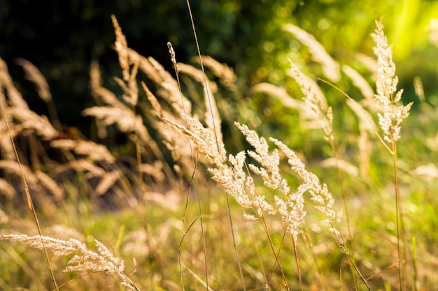 Linda grama amarela iluminada pela luz do sol brilha através do sol, close-up no outono