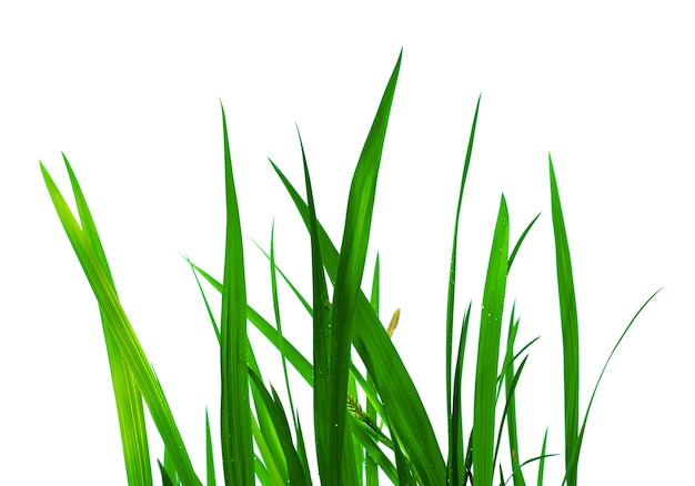 Linda grama verde com gotas isoladas em branco