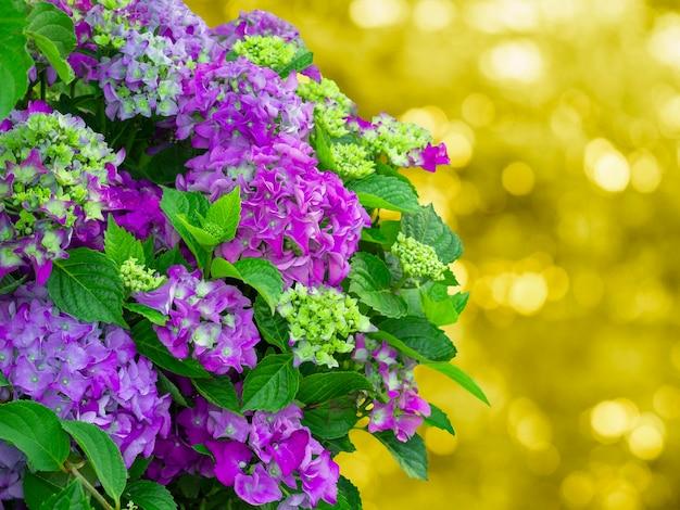 Linda hortênsia lilás, copie o espaço. fundo natural artístico.