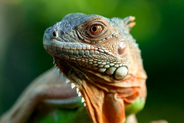 Linda iguana vermelha