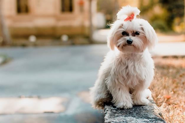 Linda jovem maltês branco cachorro posando no parque