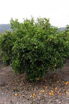 Linda laranjeira com frutos maduros
