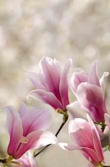 Linda magnólia floresce na primavera. flor de magnólia contra a luz do sol.