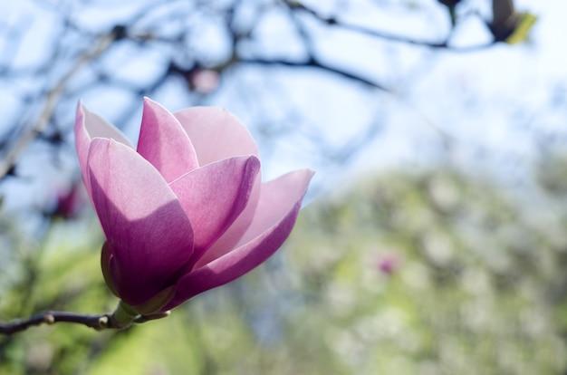 Linda magnólia rosa claro floresce na primavera. flor de magnólia contra a luz do sol.