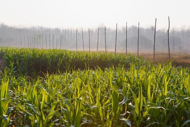 Linda manhã no campo de milho