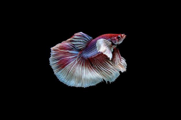 Linda meia lua branca e vermelha de betta splendens, peixe lutador siamês ou pla-kad em peixes populares tailandeses no aquário.