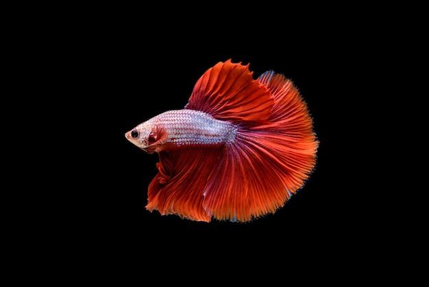 Linda meia lua vermelha betta splendens, peixe lutador siamês ou pla-kad em peixes populares tailandeses no aquário.