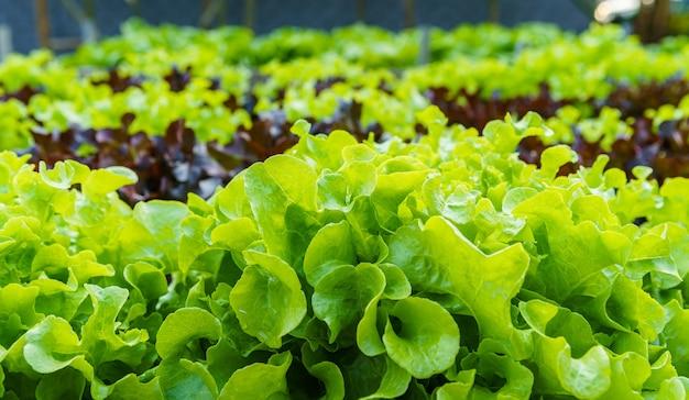 Linda mini cos orgânica, alface de carvalho verde e vermelho ou salada de horta no solo crescendo, colheita agricultura agropecuária.