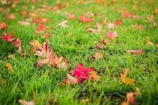 Linda natureza de fundo outono ao ar livre de greensward de folhas de bordo vermelho e folhas secas caídas