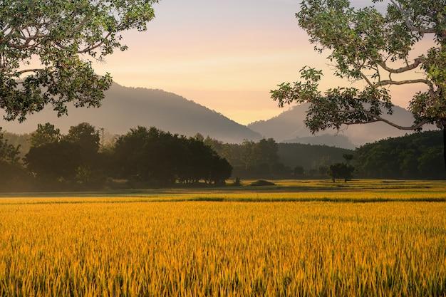 Linda névoa matinal no fundo do arrozal