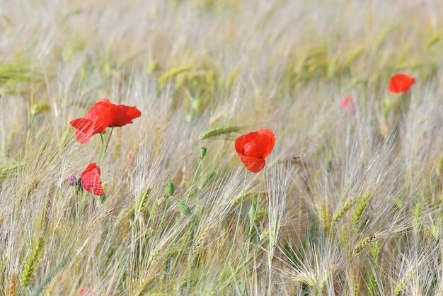 Linda papoula vermelha florescendo em um campo de cereais