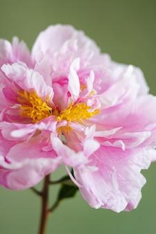 Linda peônia rosa fresca em um vaso de vidro na vista lateral de fundo verde. vida ainda moderna. macro de tiro vertical de fundo floral natural