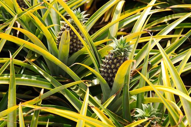 Linda planta de abacaxi na áfrica do sul durante o dia