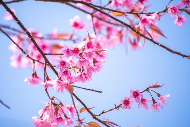 Linda primavera cherry blossom e céu azul de manhã.
