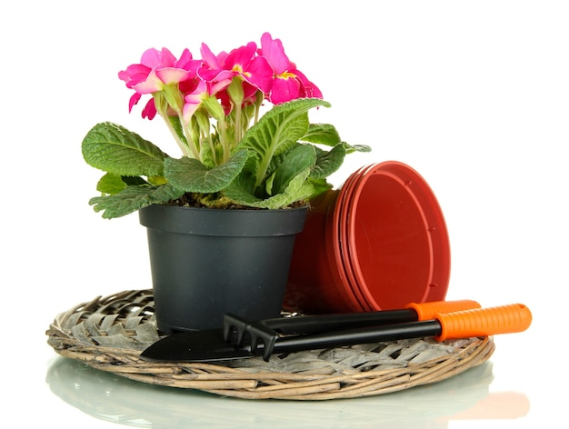 Linda primula rosa em vaso de flores e ferramentas de jardinagem, d no branco