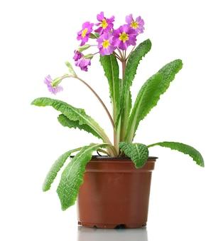 Linda prímula roxa em um vaso de flores isolado no branco
