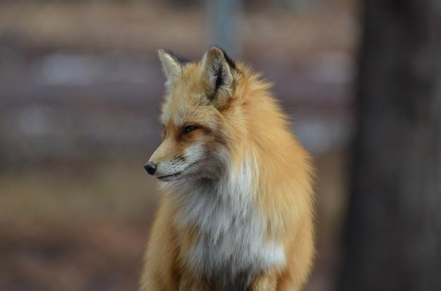 Linda raposa vermelha olhando para baixo.