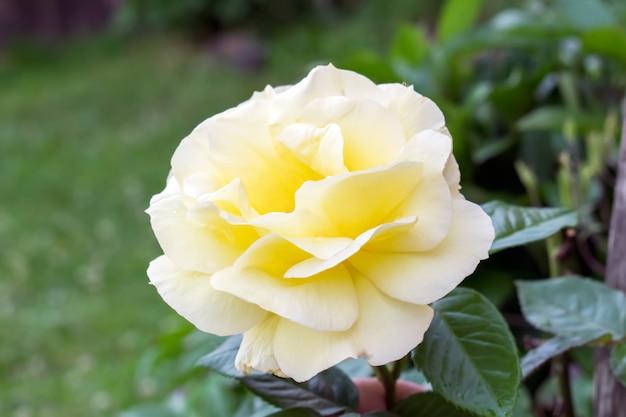 Linda rosa amarela em um jardim