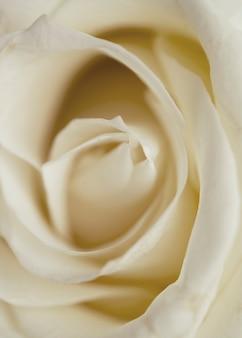 Linda rosa branca closeup