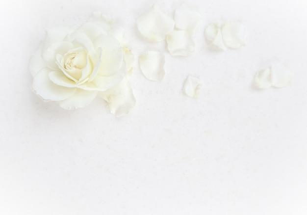 Linda rosa branca e pétalas em fundo branco, ideal para cartões de aniversário de casamento