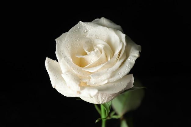 Linda rosa branca em fundo escuro