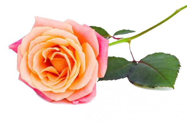 Linda rosa com água fresca cai sobre ele isolado no branco ba
