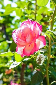 Linda rosa em um parque no fundo da natureza