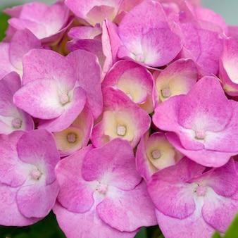 Linda rosa hortênsia close-up. fundo natural artístico.